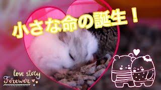 Download 出産中 ① (苦手な方はスルーを) ♪ハムスター♪ Under childbirth. Hamster Video