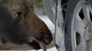 Download A moose's favourite car snack - Natural World 2016: Episode 3 Preview - BBC Two Video
