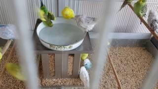 Download Muhabbet Kuşu Banyo Video