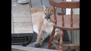 Download Amazing cougar encounter | Up close and purrsonal! Video