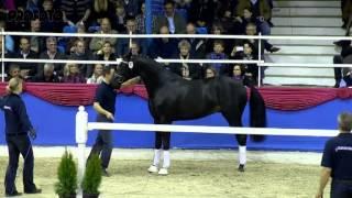 Download Tolegro v. Totilas - Krack C, Körung Oldenburg 2013 - Böckmann Pferde Video