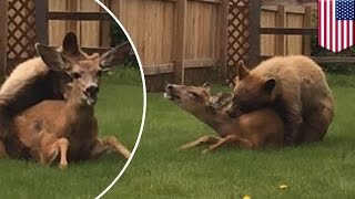 Download Rare moment caught on camera as bear mauls deer in Colorado backyard - TomoNews Video