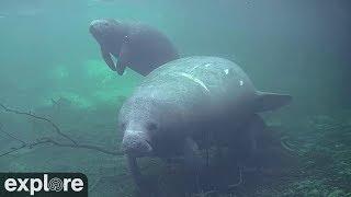 Download Homosassa Springs Underwater Manatees powered by EXPLORE.org Video
