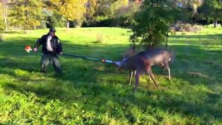 Download Big Bucks-Whitetail deer locked together and separated. Illinois giants! Video