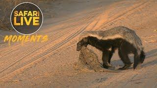 Download Honey Badger Eats Crocodile! Video
