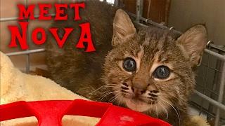 Download Meet Nova Our New Rehab Bobcat Kitten Video