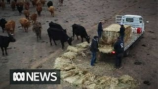 Download Hay supplies running dry as Australian farmers face worst drought in living memory Video