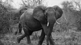 Download Elephant Poaching Video