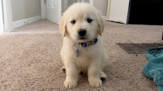 Download I GOT A PUPPY! - Cooper the 8 week old Golden Retriever Video