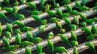 Download India's 'Birdman' Feeds 4,000 Parakeets A Day Video