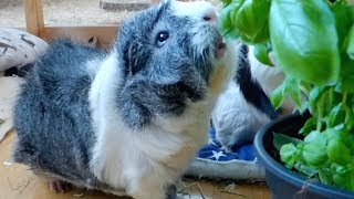 Download Tips for Saving Money with Guinea Pigs Video