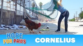 Download A rooster escapes from a slaughterhouse - the end of the story is UNREAL! Video
