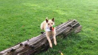 Download Patterdale Pip whizzing. Video