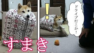 Download 柴犬小春 脱出可能?簀巻き犬をドライブに誘ってみた!Tempting rolled-up Koharu with going for a ride! Can She Escape? Video
