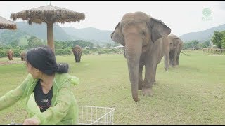 Download Elephants follow a woman riding a bicycle Video
