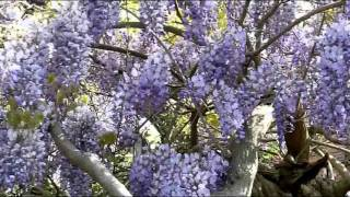 Download Choker Alooy Dhekeclem. Rabindra Sangeet by Prasun Mukherjee. Video