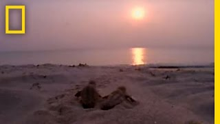 Download Lifestyles of the Loggerhead | National Geographic Video