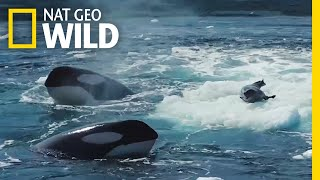 Download Watch a Crabeater Seal Evade a Pod of Hungry Orcas | Nat Geo Wild Video