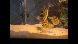 Download green spotted puffer fish eating crayfish Video