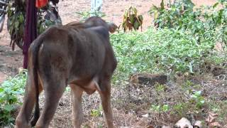 Download Sweet Baby Calf Cries for Momma Cow, Nowhere to be Found, Day 69, Solo Healing Journey, Goa India Video
