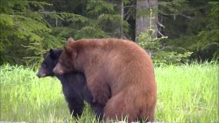 Download Young Whistler Bears Mating Video