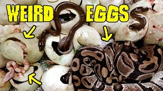 Download Weird Eggs Full of What? Video