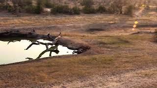 Download Djuma: Lions calling and Vervets alarming-then leopard(Hosana) also seen - 07:04 - 08/16/18 Video