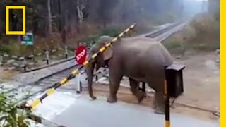 Download Watch: Impatient Elephant Disobeys Railway Rules | National Geographic Video