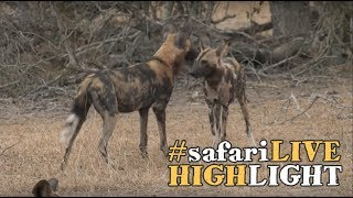Download Playful pack of painted wolves Video