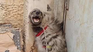 Download علاج الضبع في المراحل الاخيرة و الضبع حاول مهاجمة كلب الاكيتا مع جمال العمواسي Video