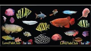 Download 10 อันดับสุดยอดปลาสวยงาม 2558 Video