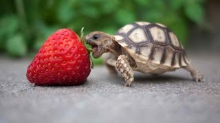 Download Turtle / Tortoise - A Funny Turtle And Cute Turtle Videos Compilation 2017 Video