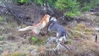 Download A Wild Fox And A Dog Met In The Woods...Next Is Going To Melt Your Heart Video