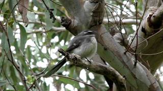 Download Grey Fantail song Video