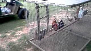Comprando gallos para la cría Cedar Creek Farm Free Download Video