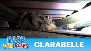 Download A scared Golden Retriever panics during this Hope For Paws rescue. Video