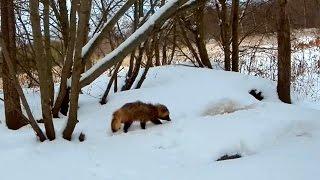Download Енотовидные собаки понос и лесорубы Эстонии У норы барсука на острове Сааремаа :) Video