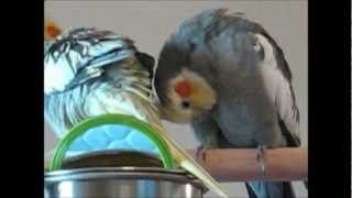 Download Pet Bird Behaviors and What They Mean Video
