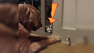 Download Kitten Raised By A Golden Retriever Now Thinks It's Actually A Dog Video