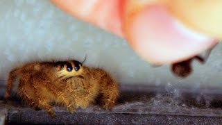 Download Jumping Spiders in Action - In 4K Slow Motion [ Outtakes and Pre Lighter Clips ] Video