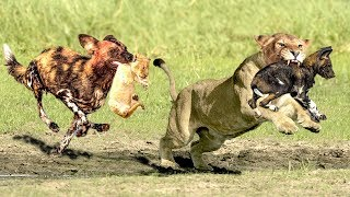 Download OMG!The God help Mother Lion destroy 16 WildDogs save Lion Cub - Epic Battle Of Lion Vs Wild Dogs Video