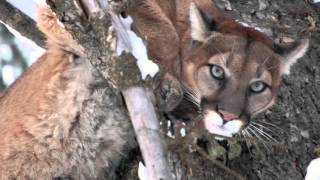 Download 2016 Idaho Mountain Lion hunt! Video