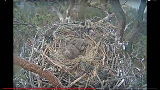 Download BIG BEAR EAGLE CAM - DAD BRINGS IN LIVE CATFISH - FISH JUMPS OUT OF THE NEST Video