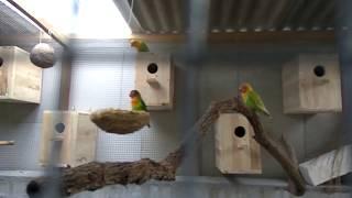 Download LOVEBIRD kandang koloni Video