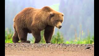 Download Bear Sounds Video