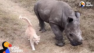 Download Cat and Baby Rhino are Best Friends | The Dodo Odd Couples Video