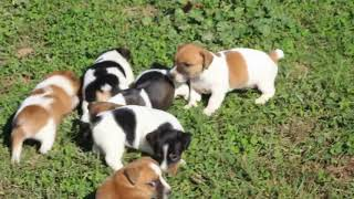 Download Jack Russell Terrier Puppies For Sale Elam Stoltzfus Video