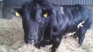 Download Pedigree stock bull Belgian Blue, Prime Irish BEEF! Video
