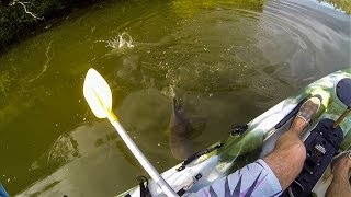 Download Bullshark eats Australia Bass next to kayak! Video