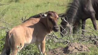 Download Baby Gnu (Wildebeest) sleeping and learning to walk Video